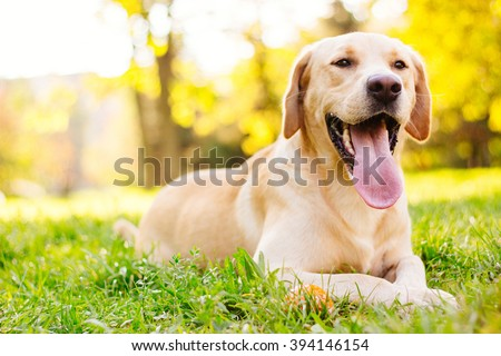 Smiling labrador dog  - stock photo