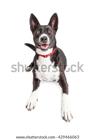 Smiling large black and white color large mixed breed dog laying over white background