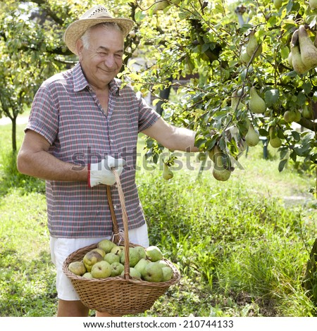 smiling man grandfather farmer who gathers pears from tree with straw hat and basket full of pears