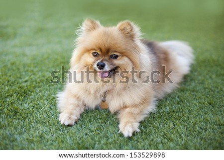 Smiling Pomeranian relaxing on the synthetic grass at backyard