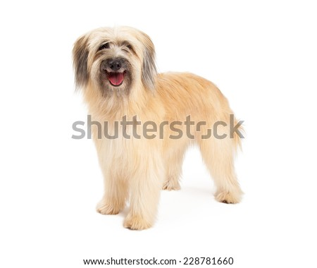 Smiling Pyrenean Shepherd Dog standing while looking forward with open mouth. - stock photo