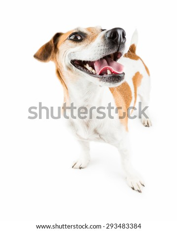 Smiling, Satisfied and happy jack russel terrier isolated over a white background full-length portrait