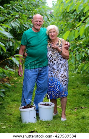 Smiling senior couple harvesting ripe sweet cherries in the garden. Healthy elderly people working in the farm on summer day. Happy retirement concept.