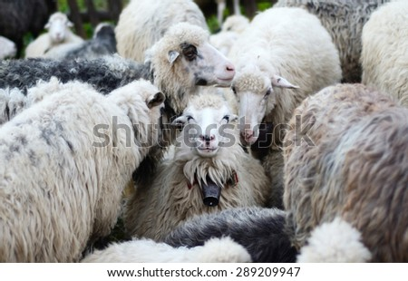 Smiling sheep in the herd sheep (recognition, environment, joy, well-being - concept)