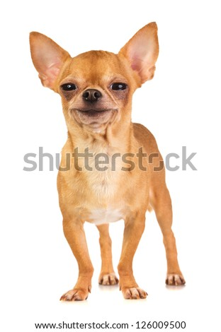 Smiling short-coated chihuahua on a white background - stock photo