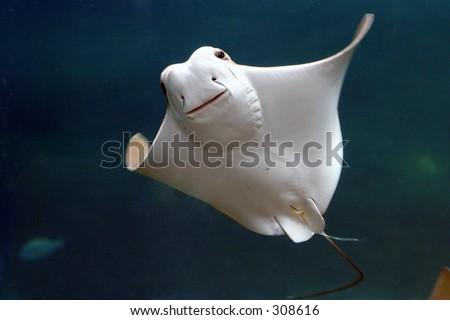 Smiling Stingray - stock photo