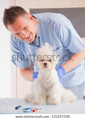Smiling vet making a checkup of a dog maltese. - stock photo