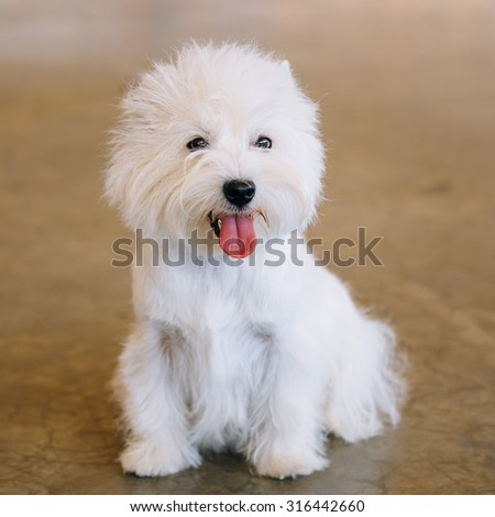 Smiling White West Highland White Terrier (Westie, Westy) Dog Portrait