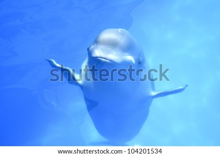 smiling white whale swims in a pool under water - stock photo