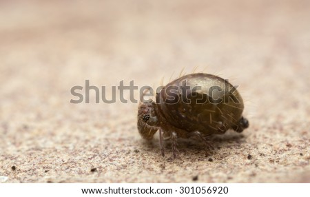 Sminthuridae springtail on wood, extreme close-up with high magnification - stock photo