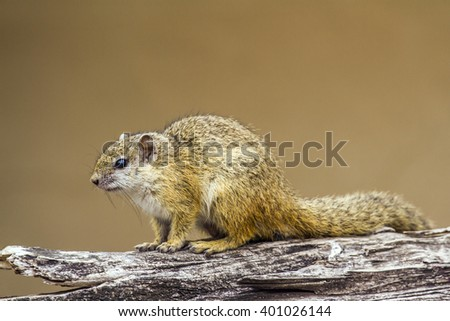 Smith's bush squirrel in Kruger national park, South Africa ; Specie Paraxerus cepapi family of Sciuridae