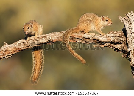 Smith's Tree Squirrel, South Africa
