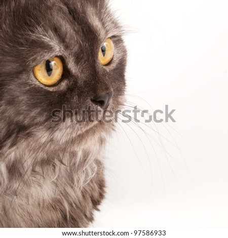 Smoke persian cat isolated on white