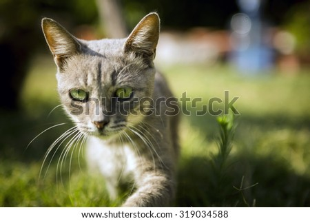 Smoked colour cat walking in the meadow. - stock photo