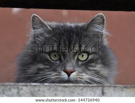 Smoky gray cat hunts on the balcony of the birds. - stock photo