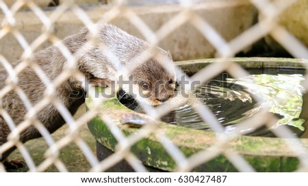 Smooth-coated otter drinking in a cage