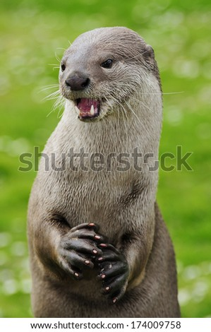Smooth coated Otter standing on her back legs - stock photo