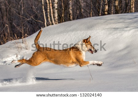 Smooth Collie in a jump - stock photo