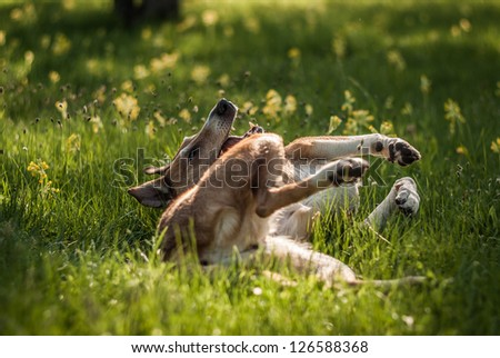 Smooth Collie rolling on the grass. Focus on muzzle - stock photo