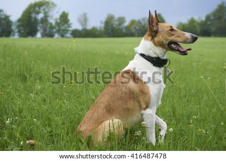 Smooth Collie sitting on the grass - stock photo