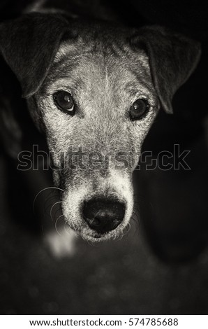 smooth fox terrier black and white portrait indoor