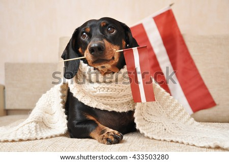 Smooth haired Dachshund holding Latvia's flag
