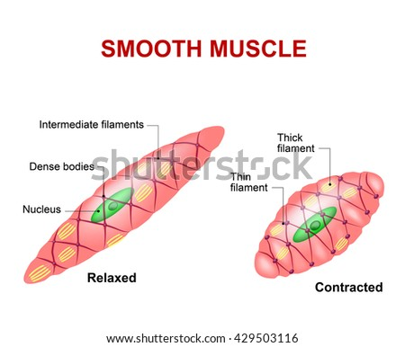 Muscle Cell Structure Diagram - Find Wiring Diagram •