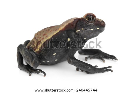 Smooth-sided toad (Rhaebo guttata)