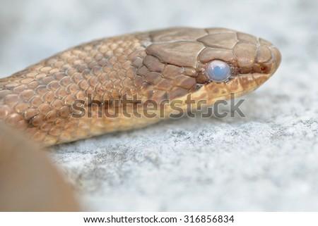 smooth snake (Coronella austriaca) before the molt - stock photo