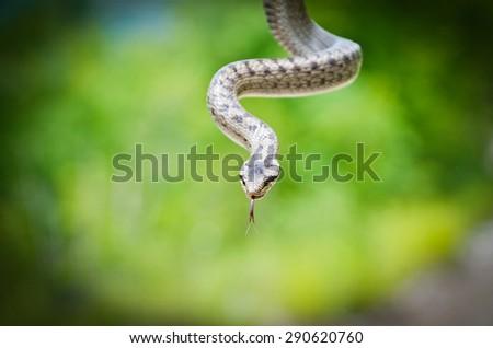 Smooth Snake, Coronella austriaca close up - stock photo