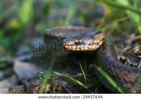 Smooth snake (Coronella austriaca) is a harmless colubrid species found in northern and central Europe