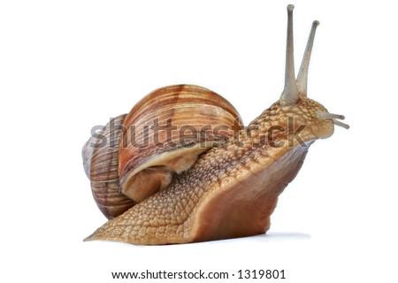 Snail against white background - stock photo