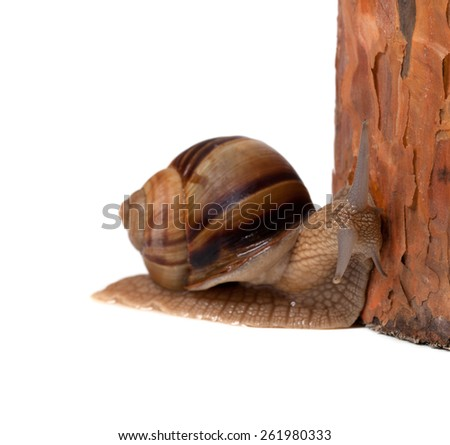 Snail and pine tree. Isolated on white background.