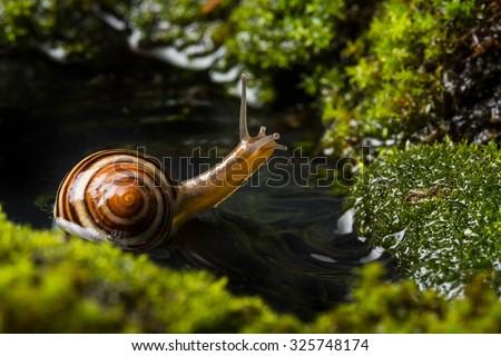 snail Cepaea hortensis on wet moss - stock photo