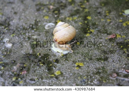 Snail, common names the Burgundy snail, Roman snail, edible snail or snails. Snaile on a concrete track in macro close-up of wet weather background fallen leaves and drops on the track. - stock photo