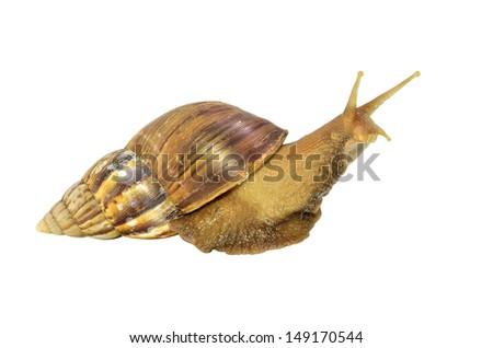 Snail crawling isolated on white background - stock photo
