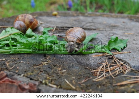 Snail crawling on dandelion leaves. Helix pomatia (common names the Burgundy snail, Roman snail, edible snail or escargot) is a species of large, edible, air-breathing land snail. - stock photo