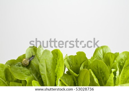 Snail crawling on fresh lettuce - stock photo