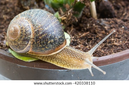 Snail crawling on plant pot / Snail in the garden background / Snail invasion in the garden / snail - stock photo