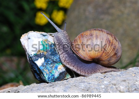 snail crawling on rock blue mineral - stock photo