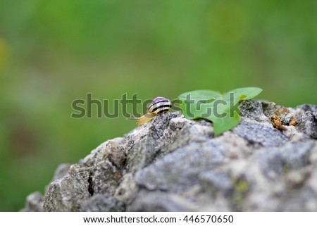 Snail crawling on stone. Helix pomatia (common names the Burgundy snail, Roman snail, edible snail or escargot) is a species of large, edible, air-breathing land snail. - stock photo