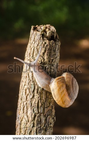 Snail crawling on the bark after spring rain somewhere in the nature.
