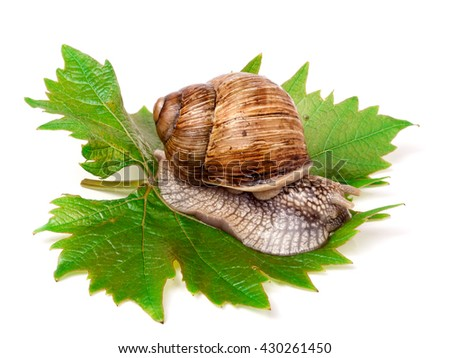 snail crawling on the grape leaf white background - stock photo