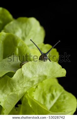 Snail hiding behind a lettuce leaf - stock photo