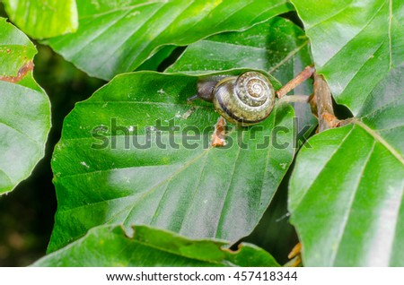 snail in beech tree - stock photo