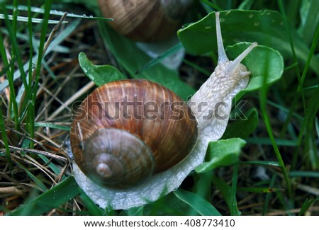 Snail in the green grass kissing the leaf - stock photo
