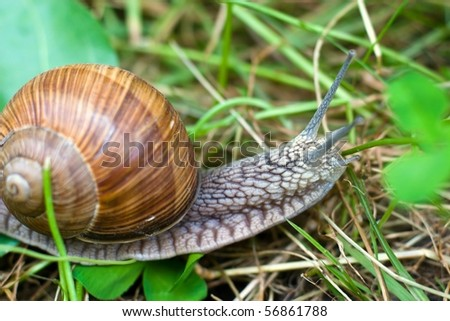 snail is climbing up, image from nature series: snail on leaf - stock photo