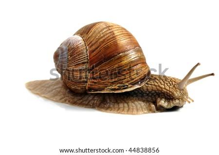 snail,isolated on white background - stock photo