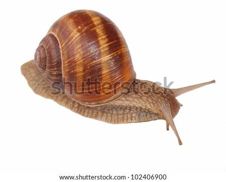 snail isolated on white background, Helix pomatia - stock photo