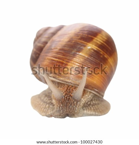 snail isolated on white background, Helix pomatia, species of land snail
